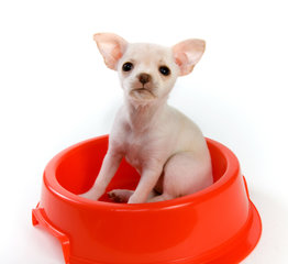 Chihuahua voeding