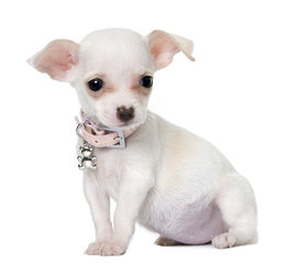 Chihuahua halsbandjes