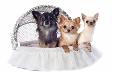 Chihuahua mandjes