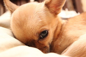 Chihuahua dekentjes