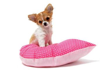 Chihuahua kussen