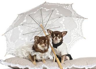 Chihuahua tuigjes en harnasjes